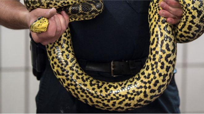 Indonésie : pour obtenir des aveux, la police utilise un serpent face aux suspects